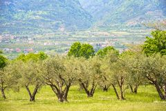 Olive plantation in Greece Stock Images