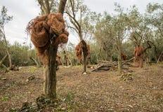 Olive plantation Stock Photography