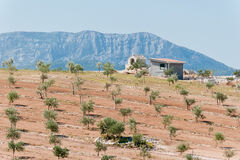 Olive plantation with hill in distance. Olive plantation in Dalmatia, Croatia with small chapel on top of the hill, and hills in background Royalty Free Stock Photos