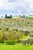 Olive plantation Royalty Free Stock Images
