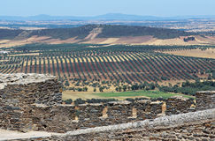Olive plantation in Montsarraz in Portugal Stock Photos