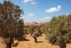 Olive Plantation in Naxos Island, Greece. Stock Image