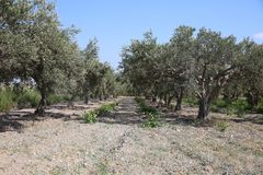 Olive Plantation near Marsala on Sicily Royalty Free Stock Images