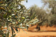 Olive plantation and olives on branch Stock Images