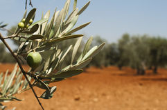 Olive plantation and olives on branch Royalty Free Stock Photos