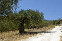Olive plantation road. Way on Sicilian fields between olive trees plantation stock image