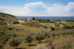 Olive plantation in sardegna. Olive plantation near the coast of sardegna, italy royalty free stock photo