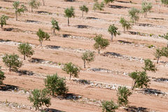 Olive plantation in summer Stock Photos