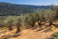 Olive Plantation Tuscany photos libres de droits