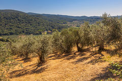 Olive Plantation in Tuscany Royalty Free Stock Photo