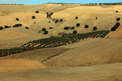 The olive plantations in Andalusia Stock Photo