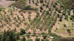 Olive plantations in Nea Skioni village, Kassandra peninsula, Chalkidiki, Greece stock footage