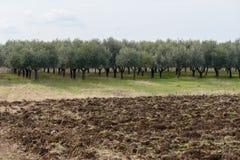 Olive plants Royalty Free Stock Image