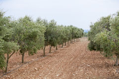 Olive plants in summer on olive plantation Stock Photos