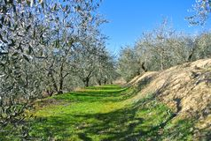 Olive plants in Tuscany Royalty Free Stock Photography