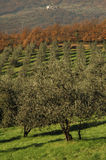 Olive plants in tuscany. Olive field plants in tuscany stock images