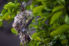 olive podparty sunbird obrazy stock