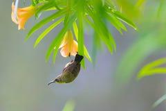 olive podparty sunbird zdjęcie stock
