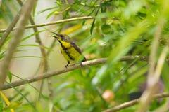olive podparty sunbird fotografia royalty free