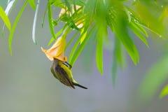 olive podparty sunbird fotografia stock