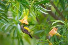 olive podparty sunbird obraz stock
