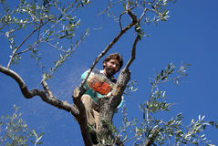 Olive Pruning Royalty Free Stock Photography