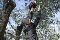 Olive pruning Stock Photos