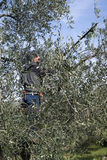Olive pruning Royalty Free Stock Photo