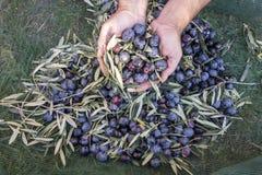 Olive raccolte Immagini Stock