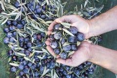 Olive raccolte Immagini Stock Libere da Diritti