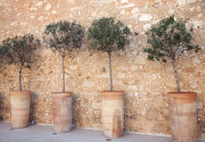 olive radtrees Arkivfoto