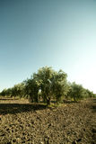 Olive regular trees Royalty Free Stock Photography