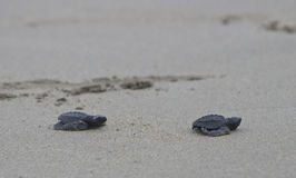 Olive ridley sea turtle babies en route to the ocean Royalty Free Stock Photo
