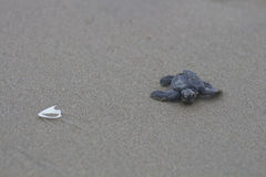 Olive ridley sea turtle baby en route to the ocean royalty free stock images