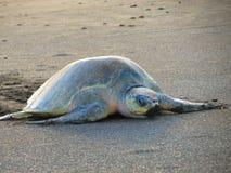 Olive Ridley Sea Turtle Costa Rica arkivbild
