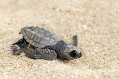 Olive Ridley Sea Turtle (Lepidochelys olivacea). Close-up of baby olive ridley sea turtle (Lepidochelys olivacea), also known as the Pacific ridley, on beach Royalty Free Stock Image