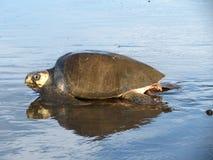 Olive Ridley Sea Turtle spår Costa Rica Arkivbild