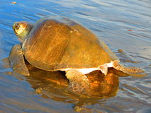 Olive Ridley Sea Turtle-spoor Costa Rica stock foto