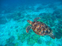 Olive Ridley Turtle In Blue Sea Water. Green Tortoise In Tropical Lagoon. Stock Photo
