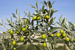 Olive's branches Royalty Free Stock Image