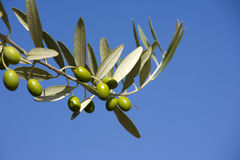 Olive S Branches Royalty Free Stock Image