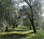 Olive's tree Stock Photo