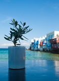 Olive sapling on the background of Little Venice Stock Photos