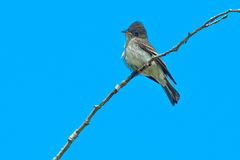 Olive-sided Flycatcher Royalty Free Stock Photography