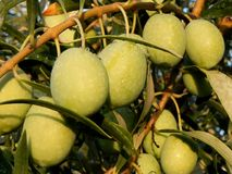 Olive soleggiate Immagini Stock