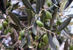 Olive su un alimento della frutta fresca della filiale di albero Fotografie Stock Libere da Diritti