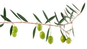 Olive su una filiale con i fogli Immagine Stock