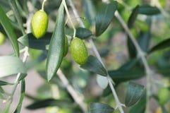 Olive sulla filiale fotografia stock