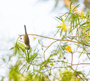 Olive Sunbird in Forest canopy Royalty Free Stock Image