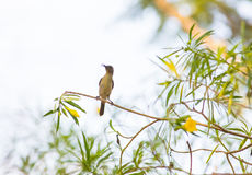 Olive Sunbird in Forest canopy Royalty Free Stock Photo